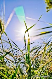 grass_blade_sun